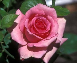 PerfumeBeauty1-ROSE